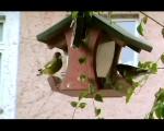 Grünfinken am Futterhäuschen